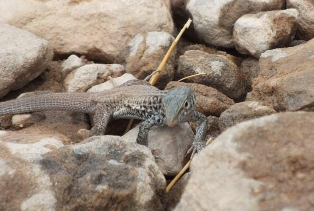 northern whiptail lizard - grand canyon 7
