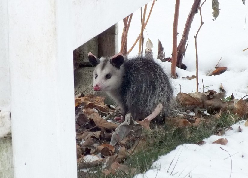 a young virginia opossum, toronto backyard, ontario