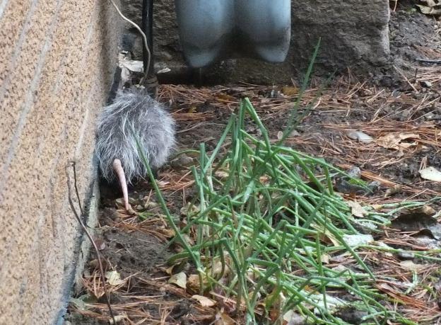 opossum toronto 11