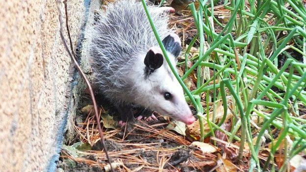 opossum toronto 15