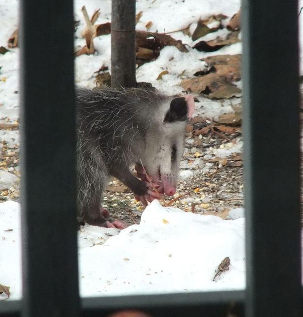 opossum toronto 8