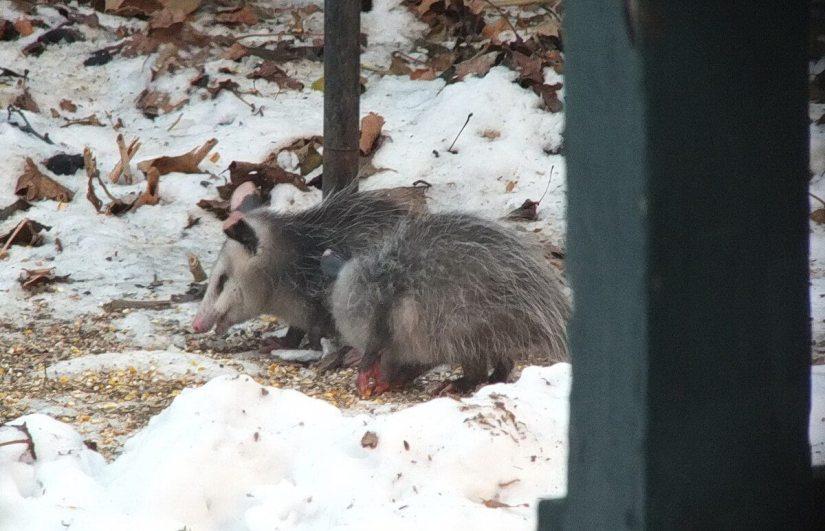 an opossum eats bird seed, toronto, ontario