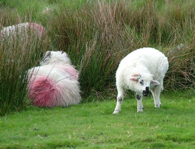 sheep caha mountains ireland 9a