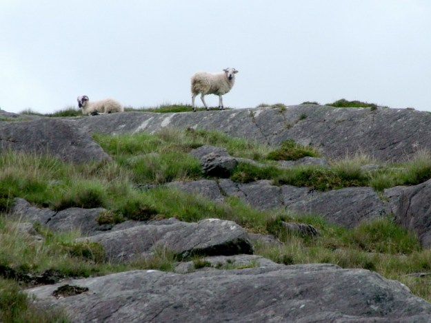 sheep in caha mountains, ireland 4