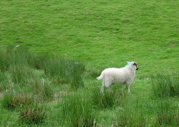 sheep in ireland 9