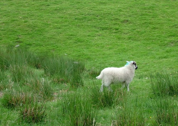 sheep in ireland 9