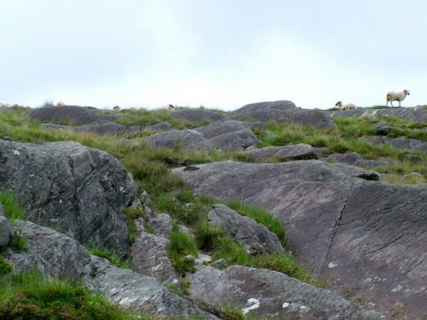 sheep on ridge, caha mountains, ireland 5