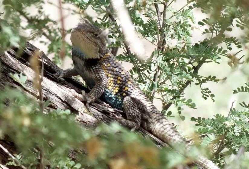 yellow-backed spiny lizard 2