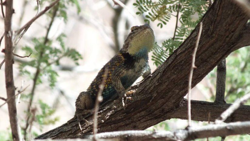 yellow-backed spiny lizard 8