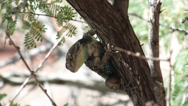 yellow-backed spiny lizard 9