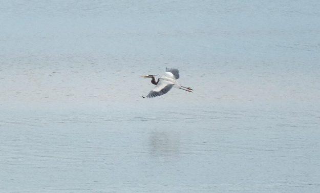 Great Blue Heron above water -- Cootes Paradise Swamp - Burlington - Ontario