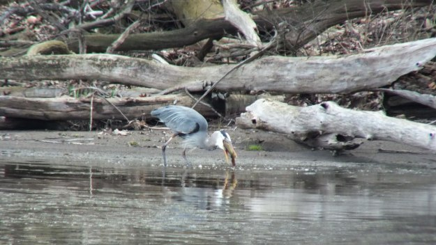 Great Blue Heron - attempts to swallow fish -- Cootes Paradise Swamp - Burlington - Ontario