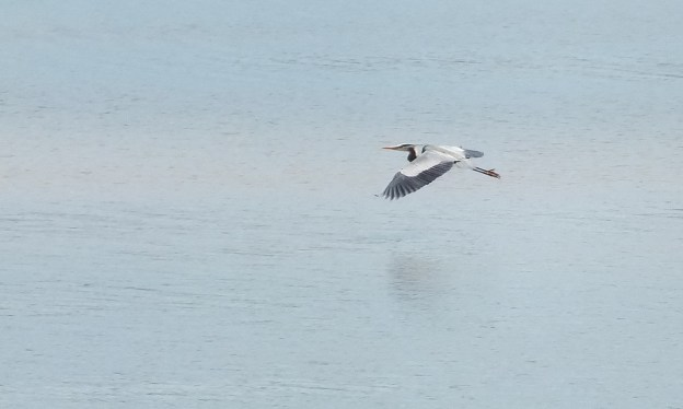 Great Blue Heron flies above water surface -- Cootes Paradise Swamp - Burlington - Ontario