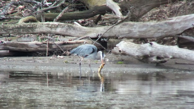 Great Blue Heron - on shore holding large fish -- Cootes Paradise Swamp - Burlington - Ontario