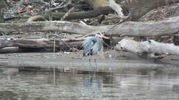 Great Blue Heron - proudly looks right on shoreline -- Cootes Paradise Swamp - Burlington - Ontario