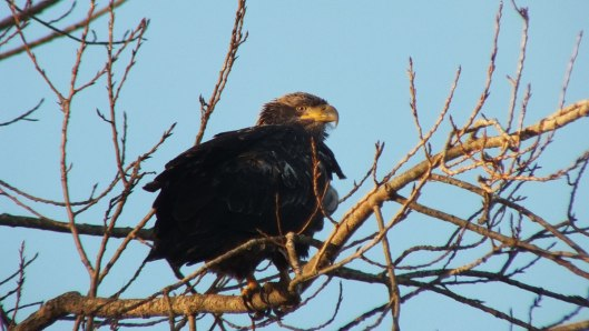 Immature Bald Eagle at Boundary Bay, British Columbia, Canada