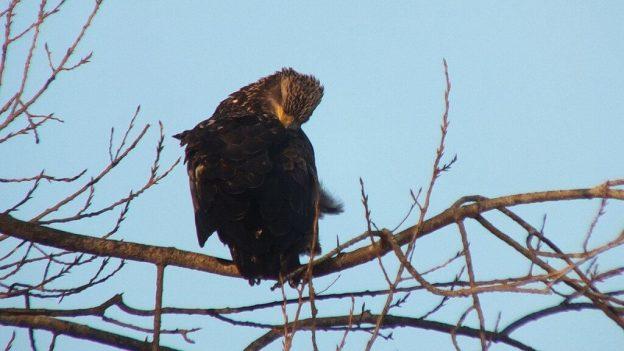 Immature Bald Eagle - Boundary Bay - BC - 5