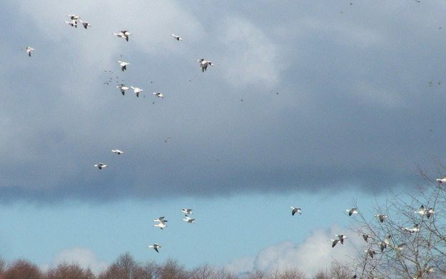Lesser Snow Geese in flight above Reifel Migratory Bird Sanctuary in Delta, BC, Canada.