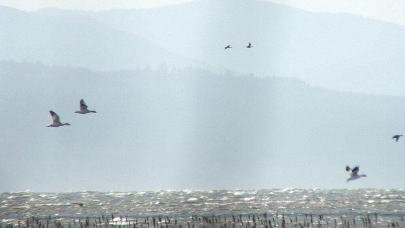 Lesser Snow Geese in flight above reifel migratory bird sanctuary 2