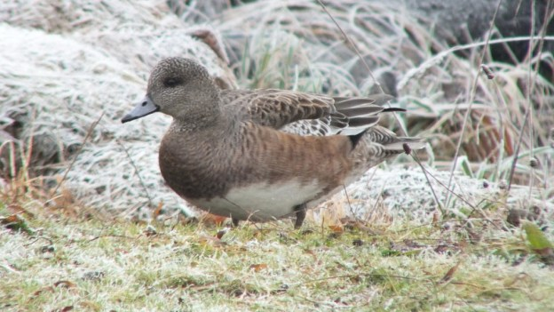 american wigeon duck - female - comox - bc 4