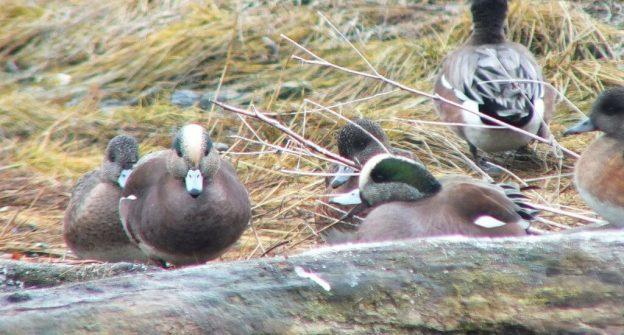 american wigeon ducks - comox - bc 5