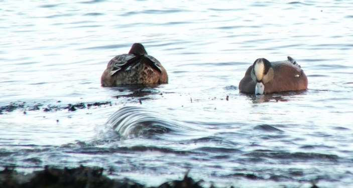 american wigeons at boundary bay - bc 2