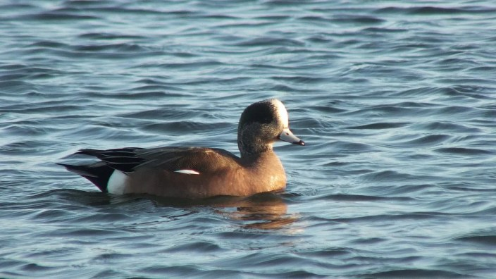 american wigeons at boundary bay - bc 5