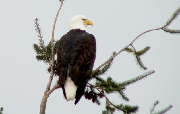 Bald eagle sitting on Pine tree at Deep Bay, Vancouver Island, B.C.