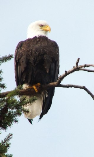 Bald eagle on a tree limb at Deep Bay, Vancouver Island, British Columbia