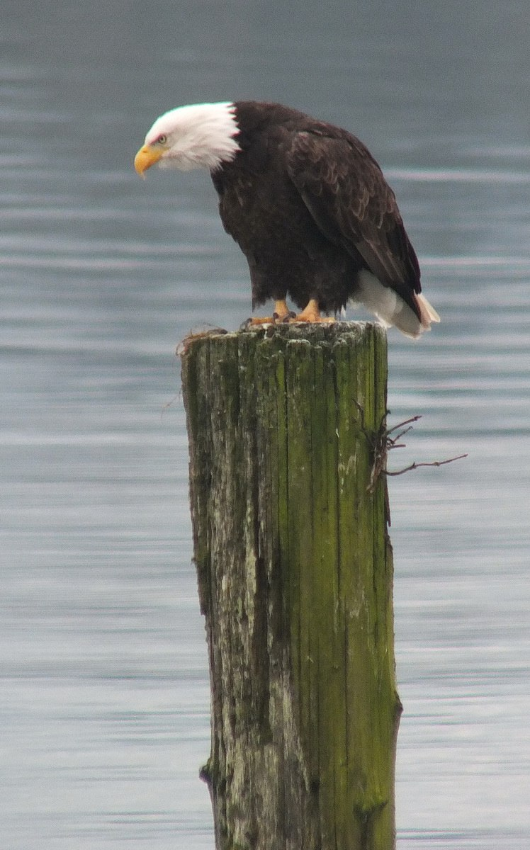 Bald Eagles Along The Shore Near Comox B C