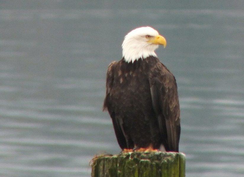 bald eagle on dock post - comox - british columbia 7