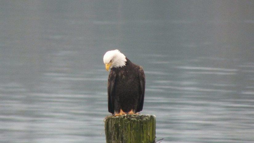 bald eagleon dock post - comox - british columbia 1