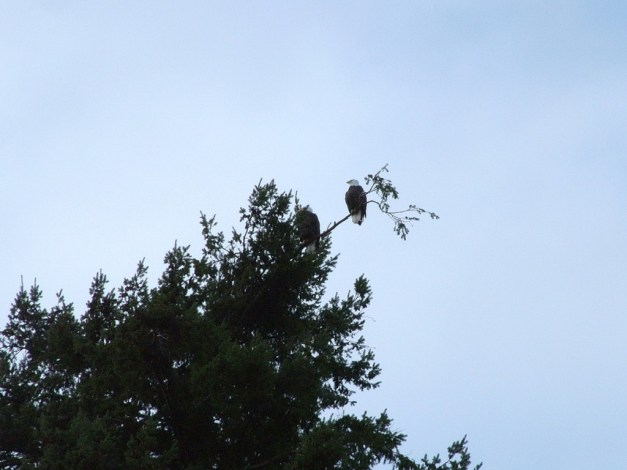 Bald eagles at the top of a tree at Deep Bay, Vancouver Island, B.C.