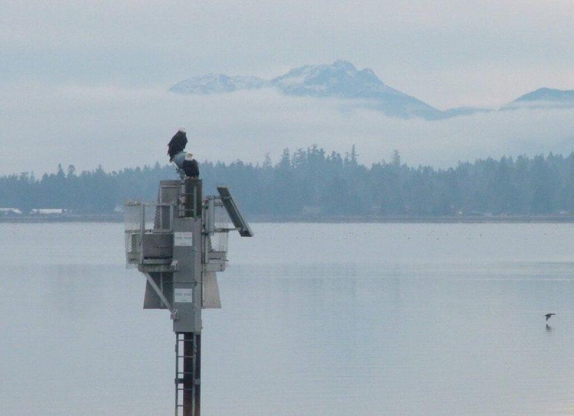 bald eagles on navigational beacon - comox - british columbia 2