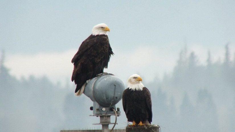 bald eagles on navigational beacon - comox - british columbia 4