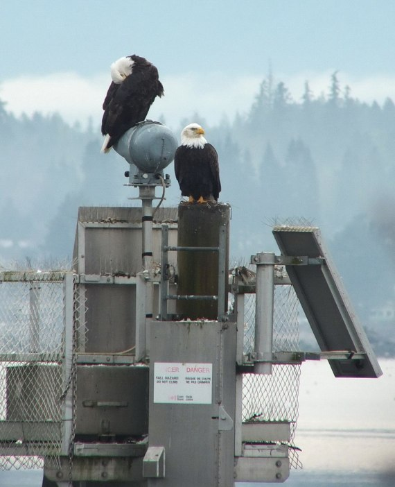 bald eagles on navigational beacon - comox - british columbia 5