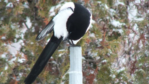 black-billed magpie sitting in post - british columbia