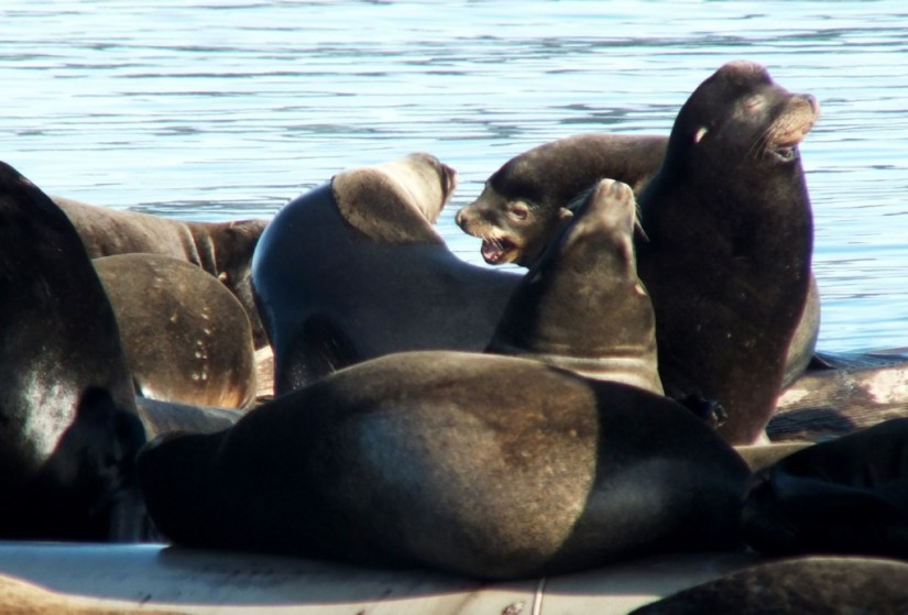 An image of a group of California Sea Lions on floats at Fanny Bay on Vancouver Island, British Columbia, Canada. Photography by Frame To Frame - Bob and Jean