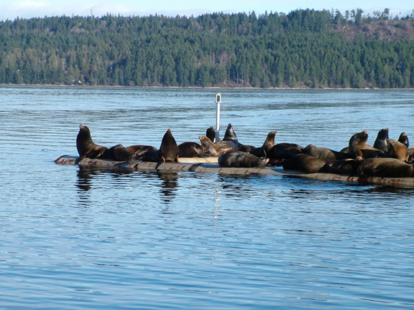 California Sea lions resting on a float in Fanny Bay on Vancouver Island in B.C., Canada