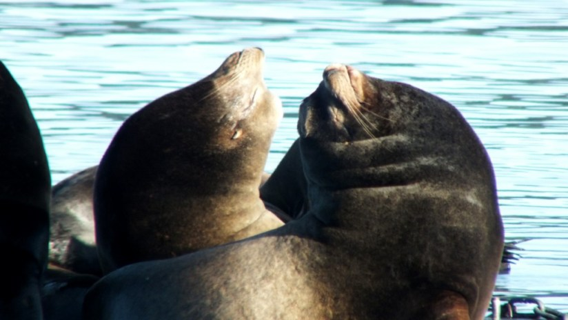 California Sea lions with noses pointed upward in Fanny Bay on Vancouver Island in B.C., Canada