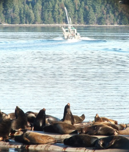 An image of a fishing boat heading out of Fanny Bay as a group of California Sea Lions enjoys the warm sun. Vancouver Island. Photography by Frame To Frame - Bob and Jean.