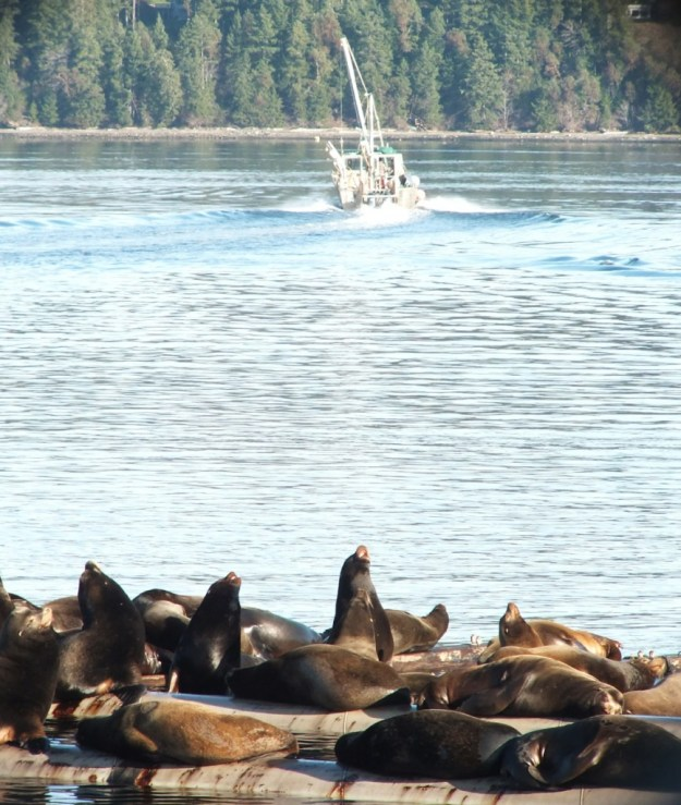 California Sea lions laying on floats in Fanny Bay on Vancouver Island in B.C., Canada