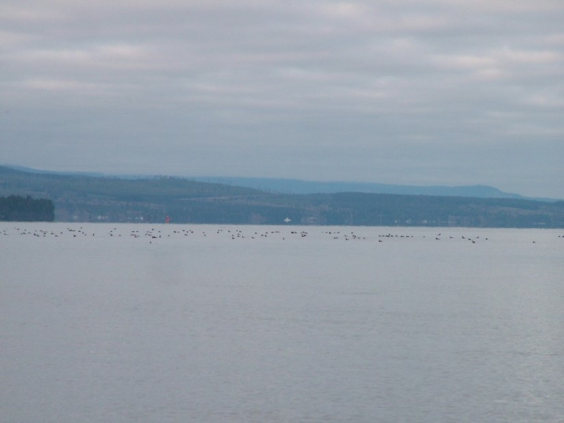 Birds on Salish Sea near Deep Bay off Vancouver Island, British Columbia