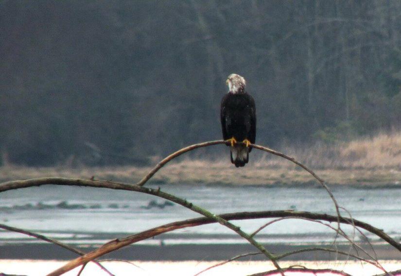 junior bald eagle on tree - comox - british columbia 1