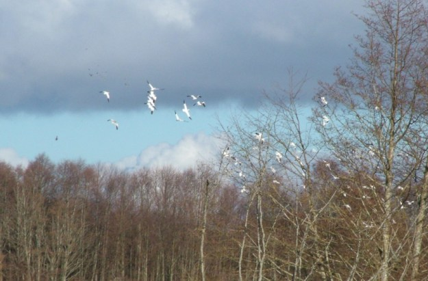 Lesser snow geese in flight at Reifel Migratory Bird Sanctuary in Delta, BC, Canada