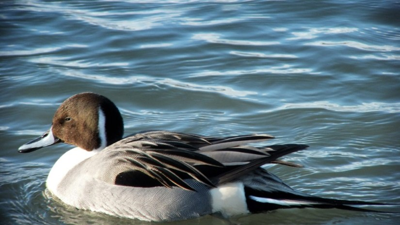 Northern pintail duck swimming at Reifel Migratory Bird Sanctuary in Delta, BC, Canada.