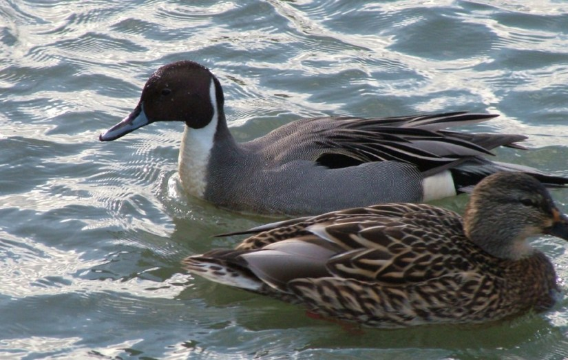 Northern pintail ducks swimming at Reifel Migratory Bird Sanctuary in Delta, BC, Canada.