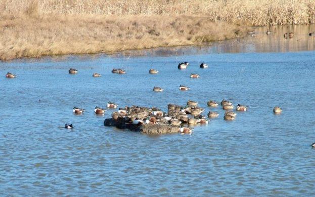 northern shovelers at reifel migratory bird sanctuary - 9