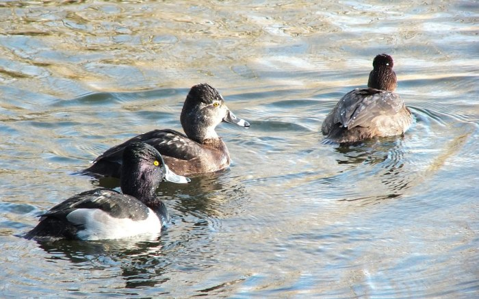 ring-necked ducks at boundary bay - BC - 1