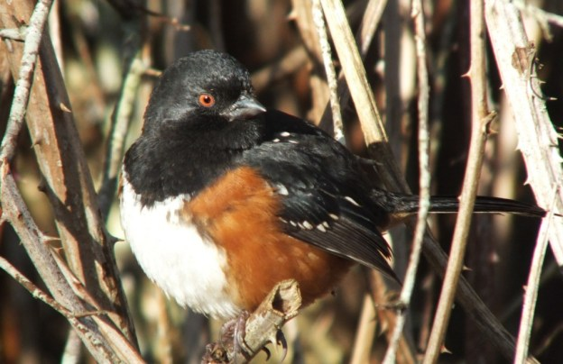 Spotted towhee sitting on branch at Reifel Migratory Bird Sanctuary in Delta, BC, Canada.